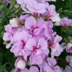 lavender vining geranium