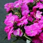 pink sunpatien 2