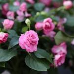 rose double impatiens 3
